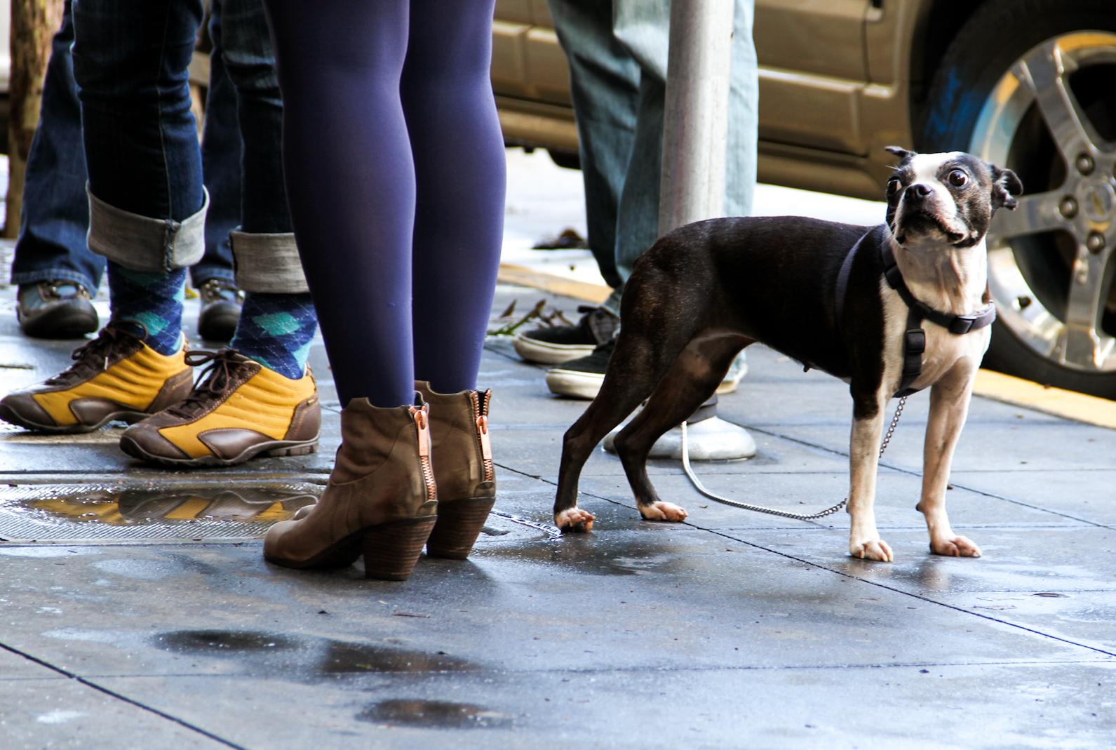 A French Bulldog mix waits outside.