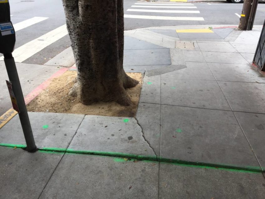ficus trees on 24th are causing headaches