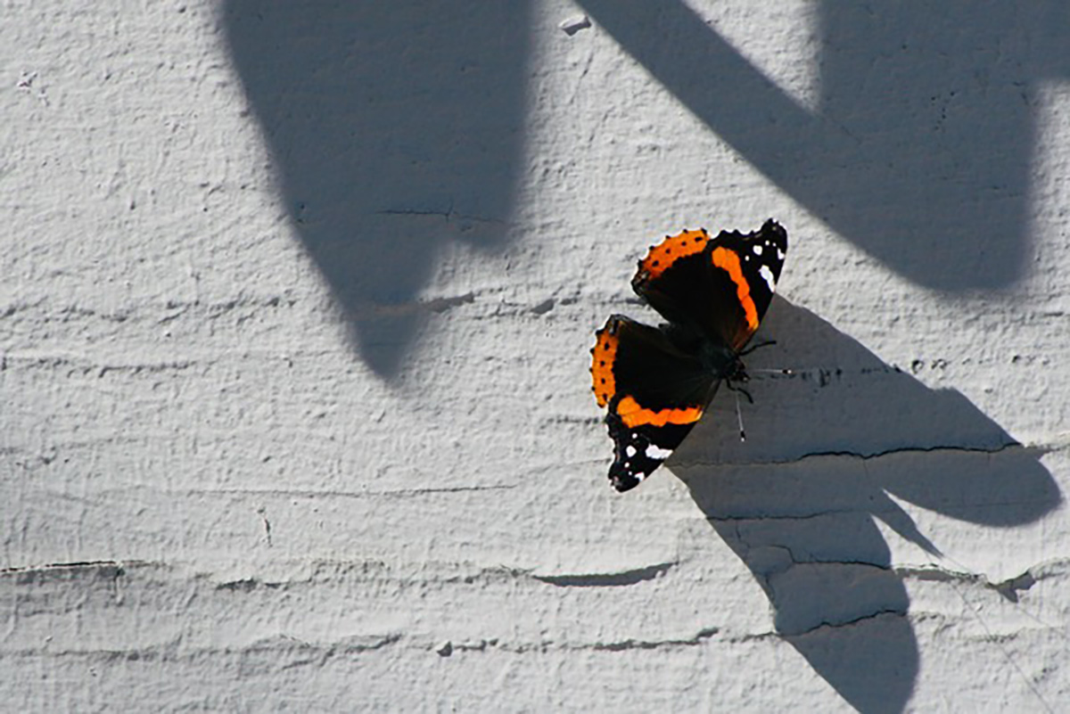 Red Admiral, butterfly